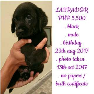 Labrador puppy male