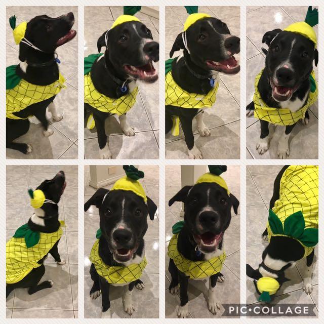 Pineapple Dog Costume Size XL (suit medium size dog)