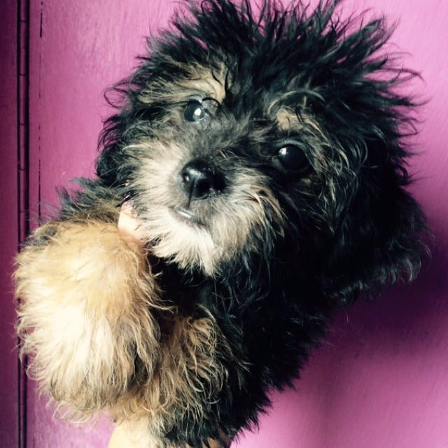 Poodle x Shihpoo puppies for sale