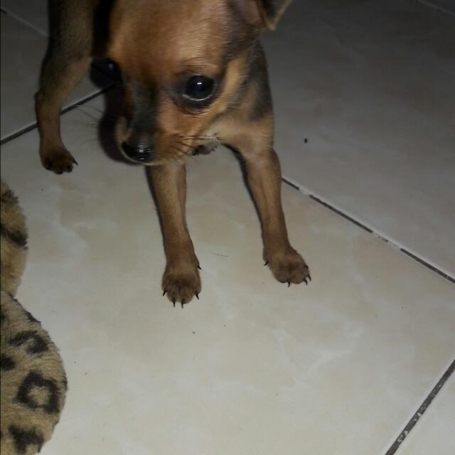 Pure Minipin Puppy