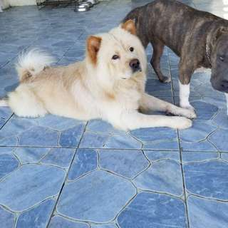 Male Chow Chow for stud