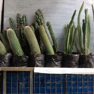 Big Cactus :)