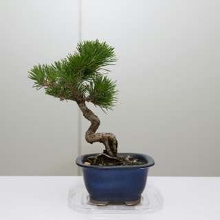 Japanese Bonsai, Black Pine