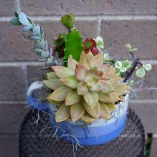 Succulent arrangement in a 10cm cup
