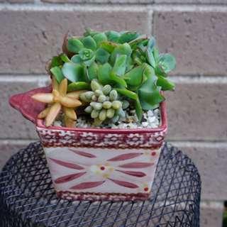 Succulent arrangement in a 10cm square pot