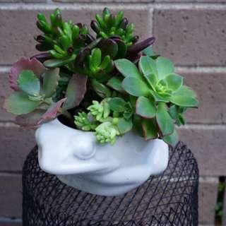 Succulent arrangement in a 15 cm frog-shaped pot
