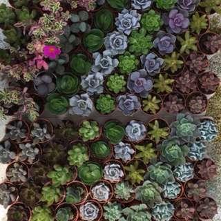 Succulent 多