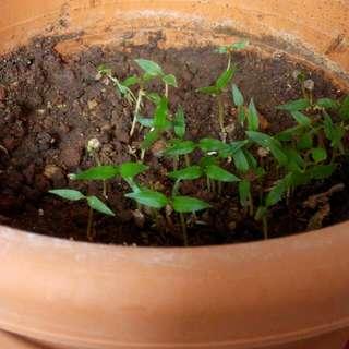 Baby Chilli Padi Plants
