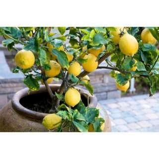 Bibit Lemon Import
