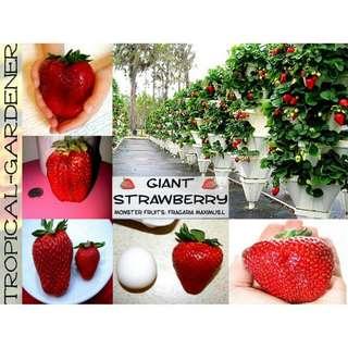 Bibit Strawberry