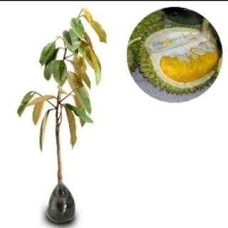 Bibit durian monthong
