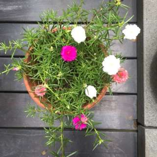 Potted Japanese Rose