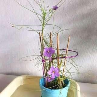 Mosquito plant trap carnivorous plant (Byblis)