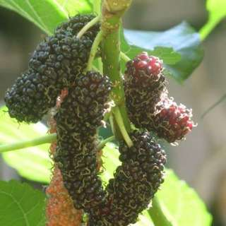Mulberry Plant Cutting