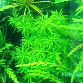 "Aquatic Plant - Pogostemon Helferi ""Downoi"""