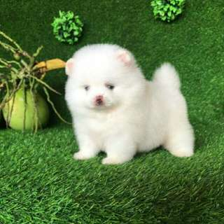 White Female Pomeranian