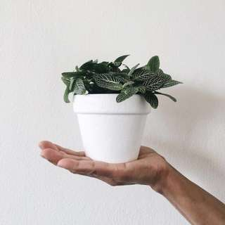 Potted Fittonia Plant