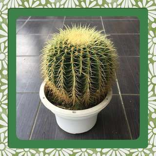 Rare Big Rounded Cactus