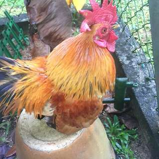 Serama Rooster(1.5 Years Old)
