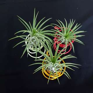 Air Plant for Christmas gift!