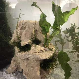 Decorated Stone With Java Fern And Java Moss