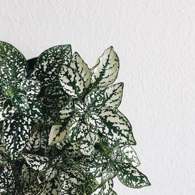 Hypoestes Plant