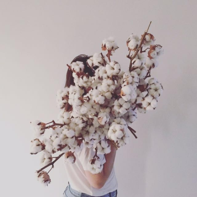 Dried Cotton Flowers - Price per stalk (: , Gardening on Carousell