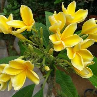 Yellow Frangipani 5ft tall