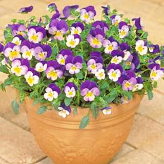 Viole Cornuta Mix Color Seeds