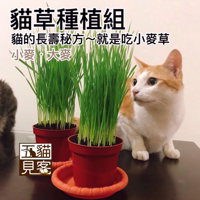 大組🍀有機麥草種植組 貓草 天然化毛 小麥 小麥草 大麥草 培養土 化毛膏 牧草 兔 天竺鼠