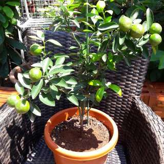 Lime fruit tree ( Organic) ** FREE DELIVERY to your door step / FREE 1 pkt organic fertilizer