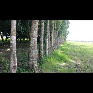 4 hectares Mango/ Mahogany Farm with Fish Ponds