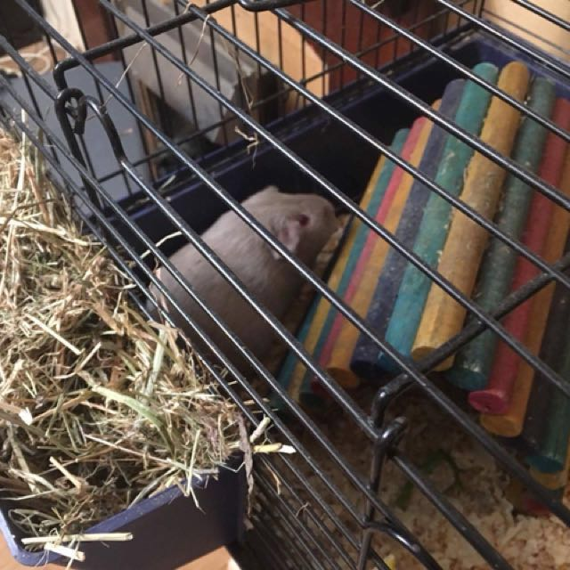 GUINEA PIGS + 2 STORY CAGE