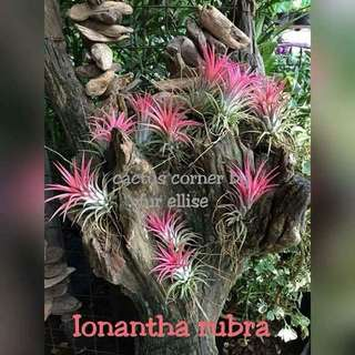 Tillandsia in quezon city