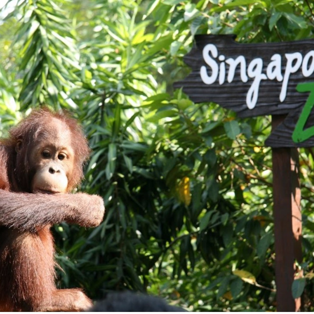 Singapore Zoo (With Tram) - Adult