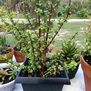 Mini Jade Bonsai