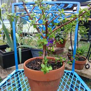 Miniture Jade Bonsai Tree