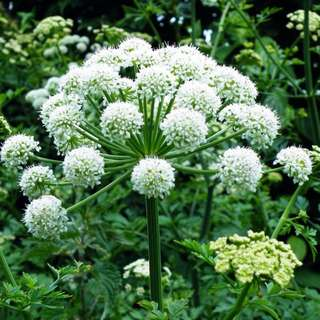 Angelica (Holy ghost) Seeds - Out of Stock