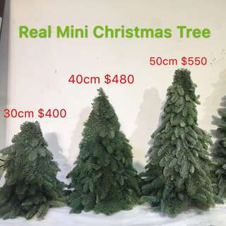 *Christmas Tree* Mini Pine Tree 30cm up