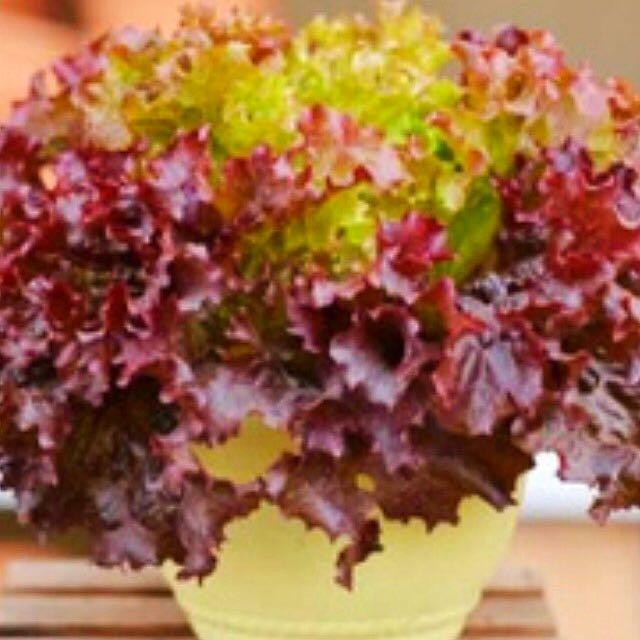 Ruby Red Leaf Lettuce Seeds