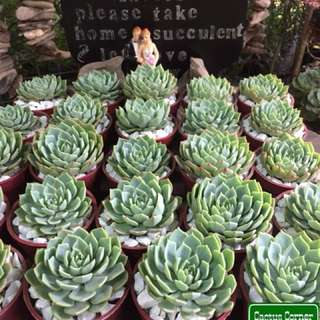 Succulents Giveaway or Favours in Quezon City