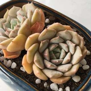 {Reserved} Succulent Echeveria Claire Korean Quality Import
