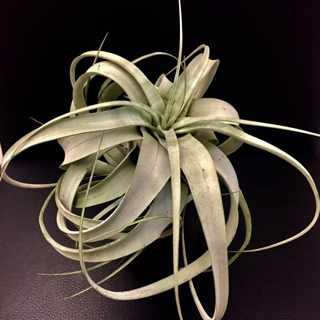 Airplant king