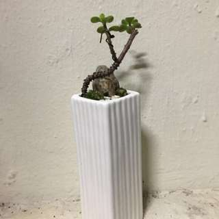 Jade Plant Bonsai (Elephant Bush)