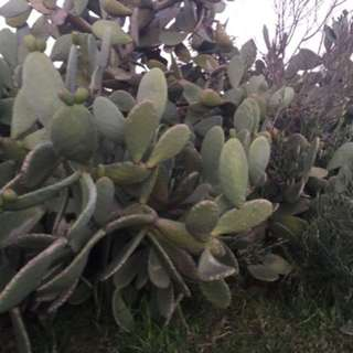Cactus Leafs For Sale..