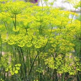 Fennel Florence (Finocchio) seeds (Heirloom & Non GMO)