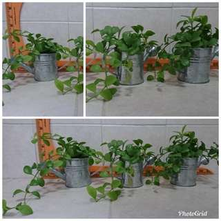 Lovely plant in watering can pot  (3 available)