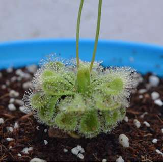 Tropical Sundew Plant Seeds