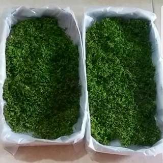 Live Moss for Terrarium (Approx. 15cm x 10cm Paper Tray)