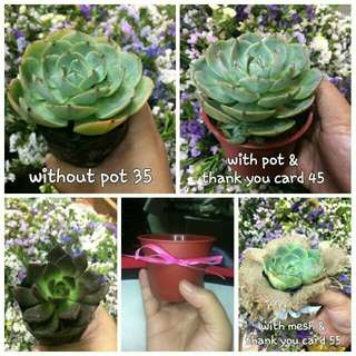Affordable succulent plants for souvenirs